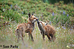 Red fox kits interacting at den. Snowy Range Mountains, Wyoming.