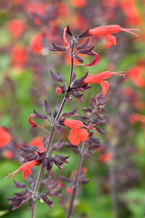 Salvia coccinea 'Forest Fire', early September.