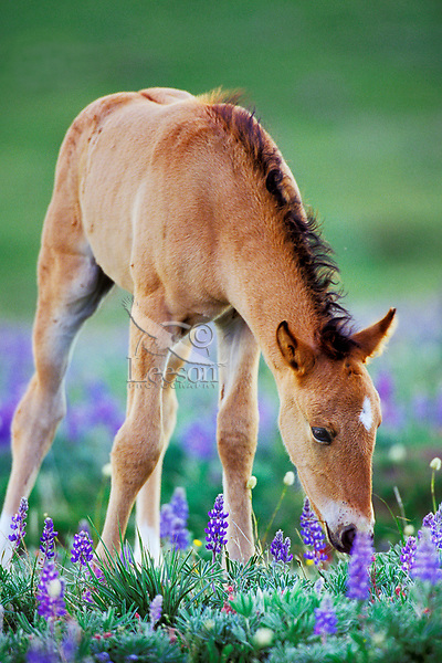 Wild Horse colt checking out wildflowers.  Montana.  Summer..(Equus caballus)