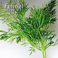 Fennel Pictures | Fennel Food Photos Images & Fotos