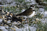 A killdeer (Charadrius vociferus) pauses as spring begins to break through the snow covered ground.