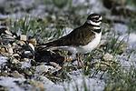 A killdeer (Charadrius vociferus) pauses as spring begins to break through the snow covered ground.
