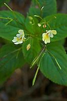 Kleinblütiges Springkraut, Kleines Springkraut, Impatiens parviflora, Small Balsam