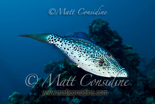 Scribbled Filefish, Palau Micronesia (Photo by Matt Considine - Images of Asia Collection) (Matt Considine)