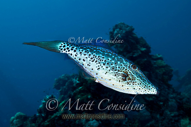 Scribbled Filefish, Palau Micronesia (Photo by Matt Considine - Images of Asia Collection)