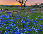 Gillespie County, Texas Hill Country: A colorful sunset against a silhouetted oak tree in a field of Texas bluebonnets (Lupinus texensis).