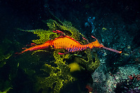 weedy seadragon, or common seadragon, Phyllopteryx taeniolatus, male, carrying eggs, Jervis Bay, Australia, Pacific Ocean
