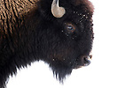 American Bison (Bison bison) female in winter, Gardiner, Yellowstone National Park, Montana