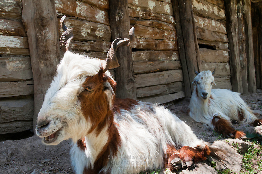 Goats in front of shepherds hut along the Kanka River, Indian Himalaya, Kashmir, India