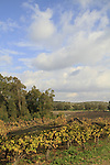 Israel, Shephelah, a vineyard near Tel Lachish