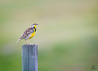 Western Meadowlark (Sturnella neglecta) male. We always seem to hear these guys before we see them. His beautiful call attracted our attention.  He didn't stay perched very long.  Custer State Park, Black Hills, South Dakota.