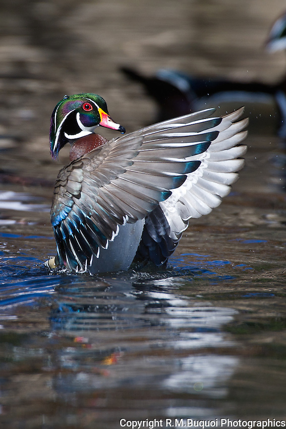 Wood Duck Stretching with Wings swept forward