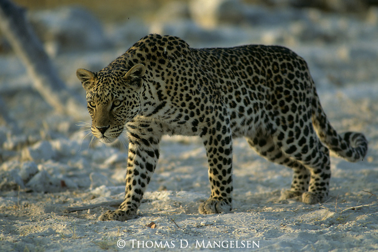 Leopard (Panthera pardus) stalking in Serengeti National Park, Tanzania