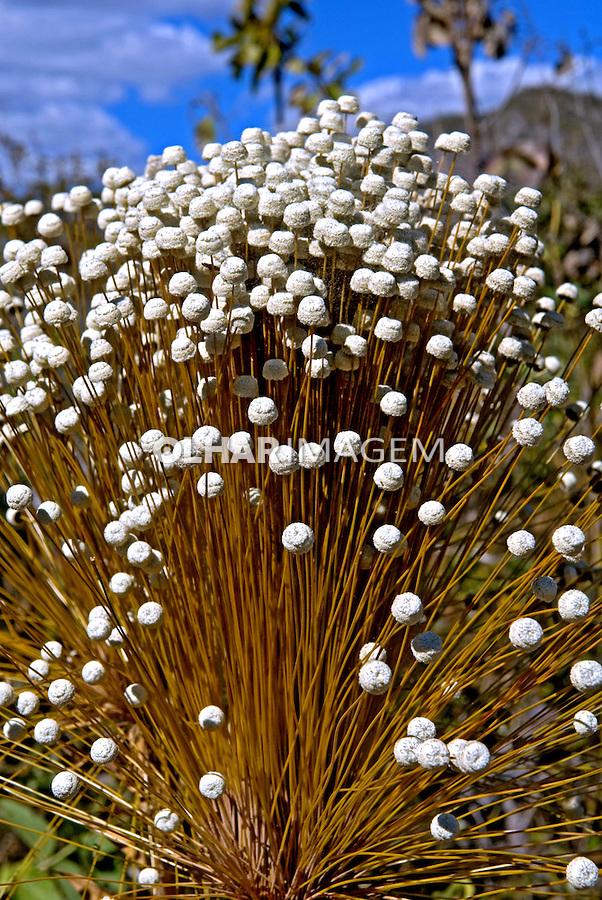 Flor Capim-dourado. Parque Nacional da Chapada dos Veadeiros. GO. Foto de João Caldas.