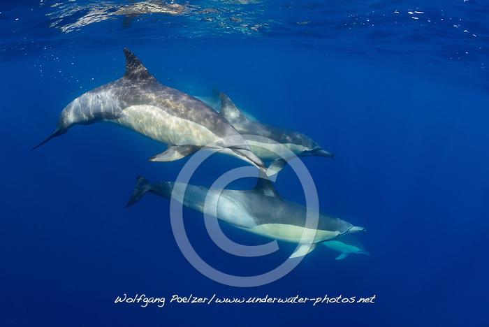 Delphinus capensi, Langschnaeuzige Gemeine Delfin, Schule von Delfine, Long-beaked common dolphin, school of dolphins, Porth Elizabeth, Suedafrika, Indischer Ocean, Algoa Bay, Porth Elizabeth, Suedafrika, Indischer Ocean
