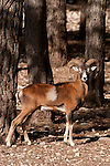 European mouflon  (Ovis musimon) ram in forest , spain