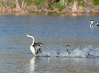 A pair of Western Grebes, Aechmophorus occidentalis, performs a mating dance known as rushing or racing, on Upper Klamath Lake, Oregon