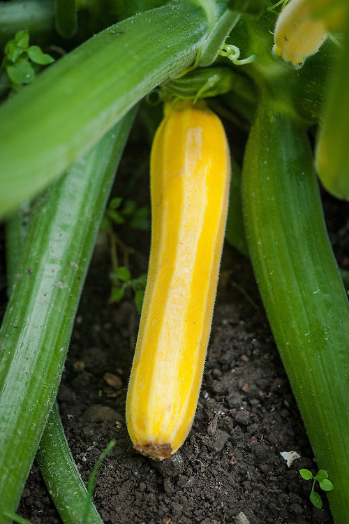 Courgette 'Sunstripe', late July.
