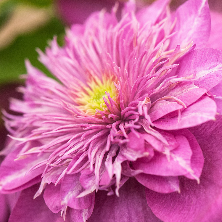 Clematis 'Kaiser', a compact and free-flowering cultivar which produces large double rosette-like blooms in May and June that start out with white or green-flushed, pink outer petals and linear, yellow-green inner petals, before maturing into deep pink flowers with a lighter pink spiky centre. Introduced at RHS Chelsea in 2013.
