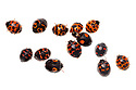 Harlequin Ladybirds {Harmonia axyridis} photographed on a white background in mobile field studio. There are over 100 different colour pattern varieties of this species, some of which are shown here. This is an invasive species in the UK. Derbyshire, UK, October.