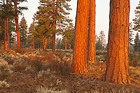 Ponderosa pine habitat rises up from the Shrub-steppe in Deschutes County Oregon, and in many other places throughout the west.