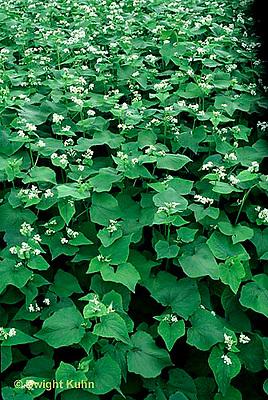 HS63-047x  Buckwheat - cover crop - Fagopyrum esculentum
