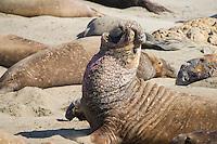 Elephant Seals at San Simeon, CA