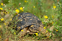 481150057 a wild texas tortoise gopherus berlandieri in a small patch of yellow wildflowers in the rio grande valley of south texas