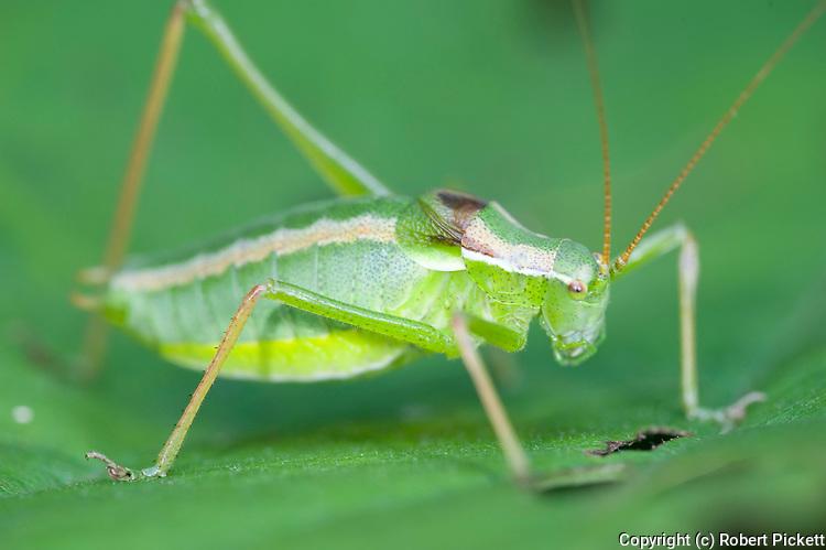Bush Cricket, Isophya nagyi, Zarnesti Gorges, Romania,