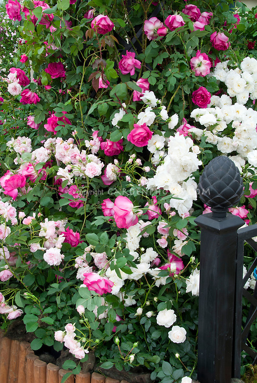 Roses in garden Rosa 'Prosperity' (Hybrid Musk) AGM + 'Sir Paul Smith' ('Beaupaul') Climbing HT, + 'Felicia' (HM) AGM, pink and white mixture