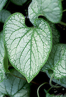 Brunnera macrophylla Jack Frost (Variegated False Forget-me-not)