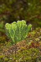 Tannen-Bärlapp, Tannenbärlapp, Teufelsklaue, Bärlapp, Huperzia selago, Lycopodium selago, Northern firmoss, Fir Clubmoss, Bärlappgewächse, Lycopodiaceae