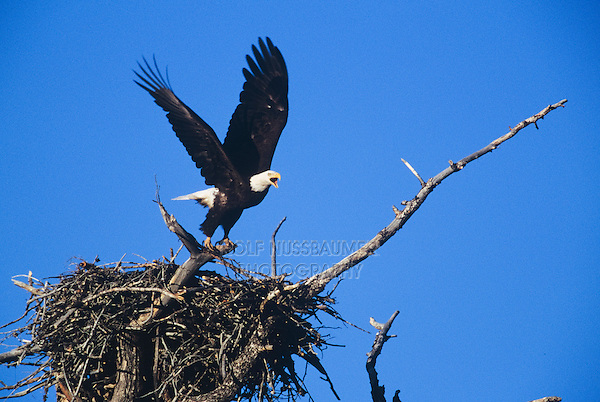 Bald Eagle (Haliaeetus leucocephalus), adult leaving nest, USA
