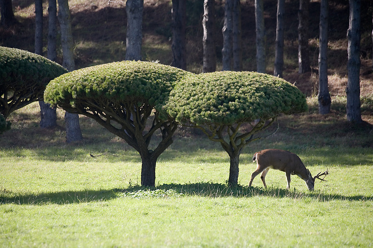 Deer and topiary in an idylic Mendocino scene near Little River, Northern California.