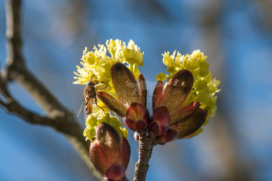 Noorse Esdoorn (Acer platanoides), bloeiend