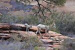 Ewe & new lamb bighorn sheep