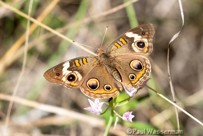 Buckeye Butterfly on Wildflower