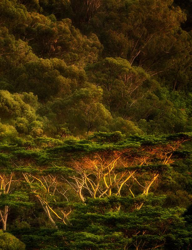 Abizia Trees in last light of day. Maui, Hawaii