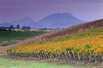 Vineyards in fall, Edna Valley, San Luis Obispo County, California