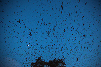The expansive night sky is ripped apart with Purple martins swooping high up in the sky as a full moon sets over Austin, Texas.