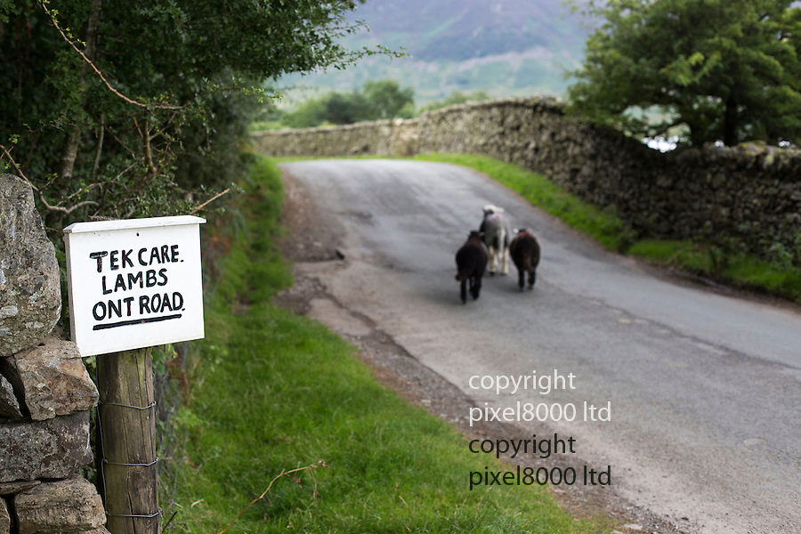 "Lake District Cumbria near Buttermere<br /> <br /> Amusing sign writhed in local dialect <br /> ""Tek Care, Lambs Ont Road.""<br /> <br /> Lambs stray onto the road near the sign causing two cars to brake to avoid them.<br /> <br /> <br /> <br /> Pic by Gavin Rodgers/Pixel 8000 Ltd"