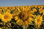 Field of sunflowers in Boulder, Colorado, USA .  John offers private photo tours and workshops throughout Colorado. Year-round.