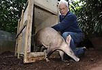 Foto: VidiPhoto<br /> <br /> ARNHEM &ndash; Dierentransporteur Ton van Maanen probeert vrijdag een aardvarken van Burgers&rsquo; Zoo in een transportkist te krijgen. Op 6 januari bereikt de 64-jarige Arnhemmer een bijzondere mijlpaal: hij is op die datum officieel vijftig jaar werkzaam voor Koninklijke Burgers&rsquo; Zoo. Van Maanen heeft het Arnhemse dierenpark naar eigen zeggen zien ontwikkelen &ldquo;van dierentuin tot zoo&rdquo;. Hij heeft alle grote nieuwbouwprojecten meegemaakt en tientallen bijzondere diersoorten vervoerd door heel Europa.  Zo kwam hij eens hondsberoerd in Arnhem aan, nadat hij bij Zoo Antwerpen een ijsbeer had ingeladen voor transport. Het honderden kilo&rsquo;s zware roofdier schommelde de hele reis van links naar rechts en van voren naar achteren, waardoor Van Maanen flink wagenziek was toen hij eindelijk weer in de Gelderse hoofdstad arriveerde. In zijn vijftigjarige dienstverband heeft Van Maanen als transporteur met zijn vrachtwagens, bestelbussen en overige bedrijfsvoertuigen letterlijk honderdduizenden kilometers voor de Arnhemse dierentuin afgelegd. Toch zijn de bekeuringen die hij in al die jaren heeft ontvangen op &eacute;&eacute;n hand te tellen. Op 6 maart 2019 viert Ton van Maanen zijn 65ste verjaardag en hoopt hij nog bijna twee jaar tot aan zijn pensioen bij Burgers&rsquo; Zoo in deze functie te werken.