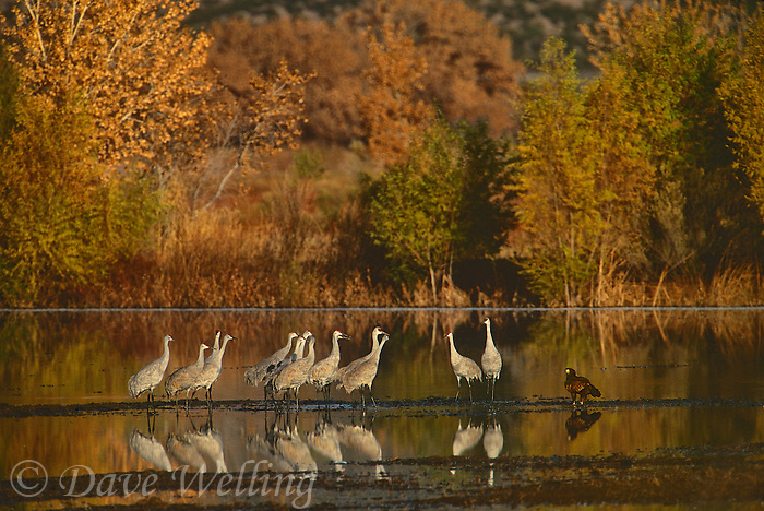 521046006 a wild juvenile bald eagle halaieetus leucocephalus and a small flock of sandhill cranes grus canadensis stand on a rocky embankment in a flooded pond during the fall migration in bosque del apache national wildlife refuge in new mexico