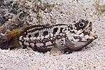 Opistognathus maxillosus, Mottled jawfish, Roatan