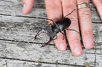 Hirschkäfer, Männchen, Größenvergleich mit Finger, Hand, Hornschröter, Hirsch-Käfer, Lucanus cervus, Stag beetle, male, Schröter, Lucanidae, Stag beetles