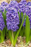 Purple-blue Hyacinth 8711