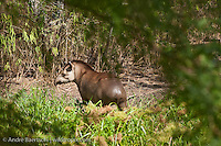 Brazilian Tapir (Tapirus terrestris) leaving a pond in tropical dry forest during dry season, Kaa-Iya del Gran Chaco National Park, Santa Cruz, Bolivia.