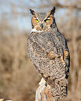 Great-horned Owl, TX