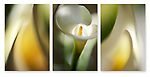 Close-up photographic triptych of white calla lily flowers.